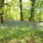Bluebells in Lough Key Forest Park
